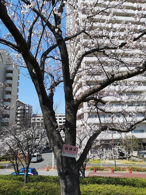 ⑦小松川千本桜の指標木.jpg
